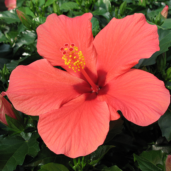 'Cairo Red' Singleflower Hibiscus Hawaii