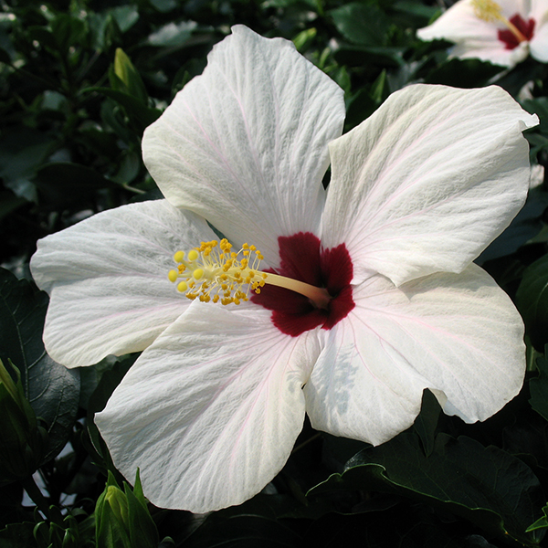'Cairo White' Singleflower Hibiscus Hawaii