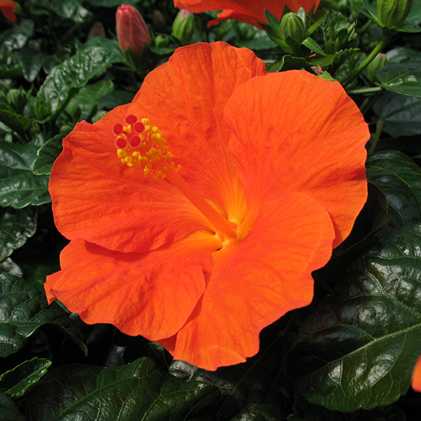 'Wiki Orange' Singleflower Hibiscus Hawaii